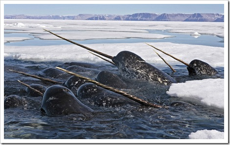 boston_narwhals